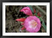 Framed Pink Flower in Bloom, Gombe National Park, Tanzania