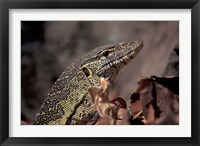 Framed Nile Monitor Lizard, Gombe National Park, Tanzania