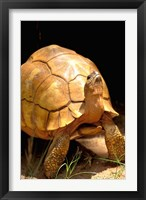 Framed Plough-share Tortoise, Ampijeroa Forest Station, Madagascar