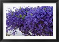 Framed Plumbago Shrub, Paul Kruger's House, Pretoria, Gauteng, South Africa