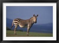 Framed Rare Cape Mountain Zebra, South Africa