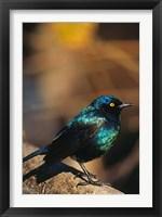 Framed Namibia. Lesser Blue-eared Glossy Starling bird