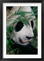 Framed Panda, Wolong, Sichuan, China