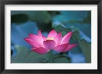 Framed Red Lotus Flower, Hangzhou, Zhejiang Province, China
