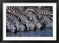 Framed Plains Zebra Herd Drinking, Telek River, Masai Mara Game Reserve, Kenya