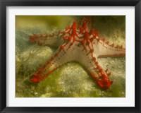 Framed Red Knobbed Starfish, Madagascar, Africa