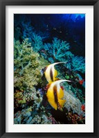 Framed Pair of Red Sea Bannerfish at Daedalus Reef, Red Sea, Egypt