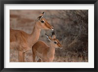 Framed Mother and Young Impala, Kenya