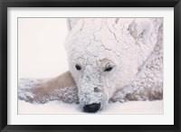 Framed Polar Bear on Hudson Bay, Churchill, Manitoba