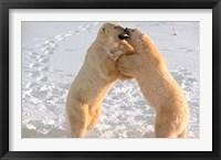 Framed Polar Bears Sparring on Frozen Tundra of Hudson Bay, Churchill, Manitoba