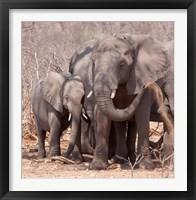 Framed Mother and baby elephant preparing for a dust bath, Chobe National Park, Botswana