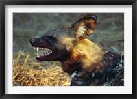 Framed Namibia. Portrait of a wild dog