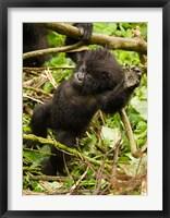 Framed Rwanda, Volcanoes Park, Baby Mountain gorilla