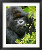 Framed Rwanda, Silverback Mtn Gorilla, Volcanoes NP