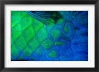 Framed Rusty Parrotfish Tail
