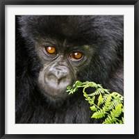 Framed Rwanda, Volcanoes NP, Mountain Gorilla Staring