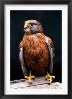 Framed Rock Kestrel Portrait, Cape Town, South Africa
