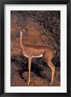 Framed Samburu Gerenuk, Kenya