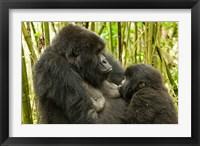 Framed Rwanda, VP, Baby Mountain Gorilla Breast Feeding