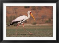 Framed Saddle-billed Stork, Chobe National Park, Botswana