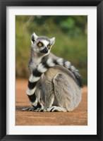 Framed Close up of Ring-tailed Lemur, Madagascar