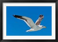 Framed Seagull, Walvis Bay, Erongo Region, Namibia.