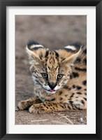 Framed Serval Cat, Kapama Game Reserve, South Africa