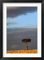 Framed Single Umbrella Thorn Acacia Tree at sunset, Masai Mara Game Reserve, Kenya