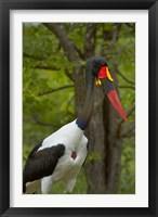 Framed Saddle-billed Stork, Kruger NP, South Africa