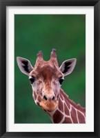 Framed Reticulated Giraffe, Impala Ranch, Kenya