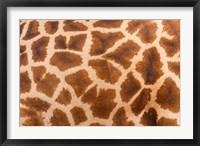 Framed Reticulated giraffe, Luangwa Valley, Zambia