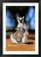 Framed Ring-tailed Lemur primate, Berenty Reserve, Madagascar