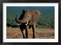 Framed South Africa, Addo Elephant NP, Angry Bull Elephant