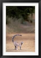 Framed Ring-tailed Lemur, Berenty Reserve, Madagascar