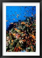 Framed Scalefin Anthias Fish at Habili Ali, Red Sea, Egypt