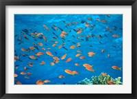 Framed Scalefin Anthias, Elphinstone Reef, Red Sea, Egypt