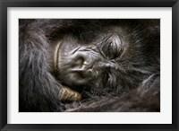 Framed Rwanda, Volcanoes NP, Mountain Gorilla Sleeping