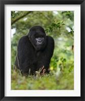 Framed Rwanda, Kigoma, Mountain Gorilla, No 3 Silverback