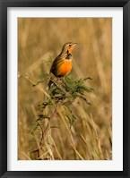 Framed Rosy-breasted Longclaw bird, Maasai Mara Kenya