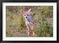 Framed Silver-backed Jackal wildlife, Maasai Mara, Kenya