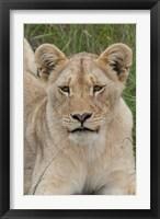 Framed South Africa, Inkwenkwezi GR, African lion cub