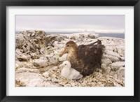 Framed Southern giant petrel nest, Antarctic Peninsula