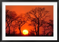 Framed South Africa, Kruger NP, Trees silhouetted at sunset