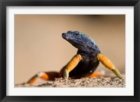Framed Flat lizard