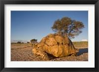 Framed South Africa, Leopard Tortoise, Kalahari Desert