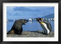 Framed South Georgia, St Andrews Bay, King Penguins, Fur Seal