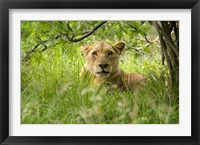 Framed South African Lioness, Hluhulwe, South Africa