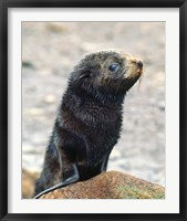 Framed Close up of fur seal pup