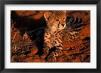 Framed South Africa, Kalahari Desert. King Cheetah