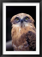 Framed South Africa. Spotted Eagle Owl (Bubo africanus)